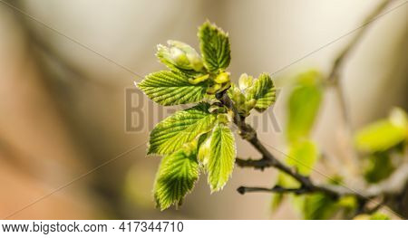 Young Buds And Leaves Of A Hazel Tree.