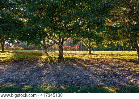 Sunshine Through Cherry Trees In A Park With Long Shadows