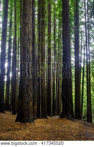 Tall Sequoia Trees In The Great Otway National Park, Victoria, Australia