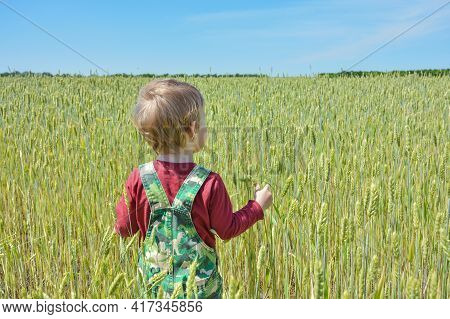 Small Child In A Wheat Field Stands With His Back To The Viewer. Little Child Walks In A Wheat Field