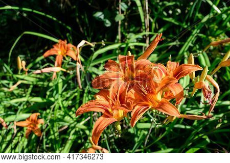 Many Small Vivid Orange Flowers Of Lilium Or Lily Plant In A British Cottage Style Garden In A Sunny