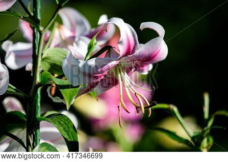 Delicate White And Pink Flowers Of Royal Lily Or Lilium, Known As King's Lily In A British Cottage S