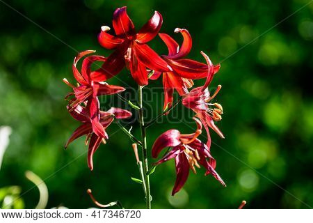 Close Up Of Delicate Dark Red Day Lily Flowers In Full Bloom On A Water Surface In A Summer Garden