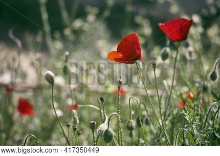 Red Common Poppy Flowers Opposite Blurred Floral Background. Close-up Of Red Poppies Inflorescences