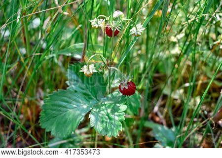 A Stem Of Wild Strawberry With A Red Ripe Fruit Grows Among The Forest Grass In A Clearing. Summer N