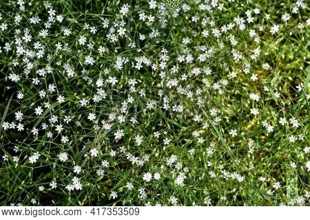 Natural Floral Pattern With Many Small White Flowers Of The Lesser Stitchwort Among Thin Green Stems