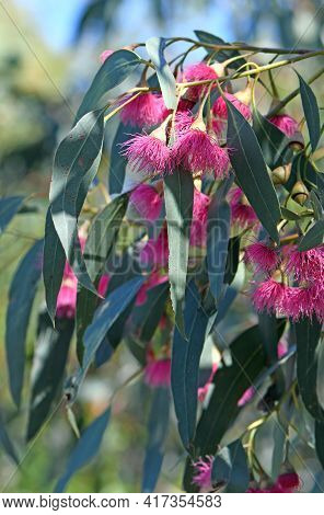 Pink Blossoms And Blue Green Leaves Of The Australian Native Blue Gum, Eucalyptus Leucoxylon Euky Dw