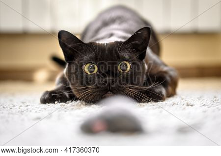 Cat Hunting To Mouse At Home, Burmese Cat Face Before Attack Close-up. Portrait Of Funny Domestic Ki