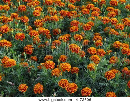 Blooming marigolds in flowerbed on sunny day poster
