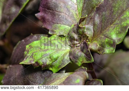 Fresh Fragrant Leaves Of Spicy Basil Herb Close-up Macro Photo Isolated