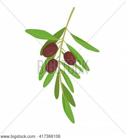 Little Branch With Olives On The White Background. Natural Organic Way To Harvest Olives For Selling