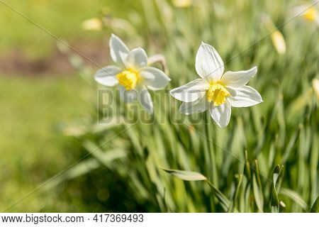 Daffodils In A Sunny Spring Garden, Meadow.bright And Colorful Flowers Of Daffodils On The Backgroun