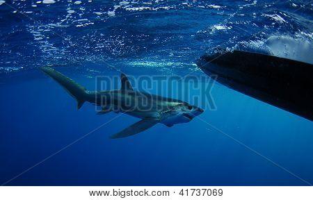 Bigeye Thresher Shark Swimming