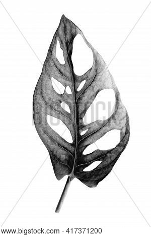 Tropical Leaf Of Monstera Adansonii Also Called Monstera Monkey Isolated On A White Background. Imag