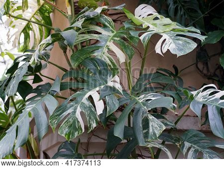 A Fully Grown Variegated Monstera Albo Deliciosa Tropical Plant