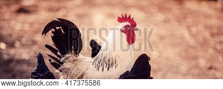 A White Cock, Rooster Walking Freely In Nature In Spring, Male Chicken Bird.