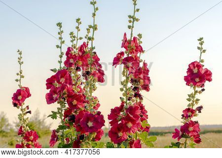 Beautiful Red Flowers Alcea Rosea In Sunset Sun. Popular Garden Ornamental Plant Malva Or Hollyhock.