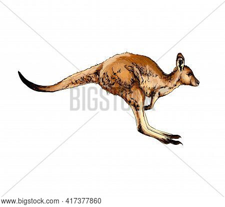 Kangaroo From A Splash Of Watercolor, Colored Drawing, Realistic. Vector Illustration Of Paints