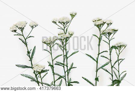 Blooming Achillea Millefolium ( Common Names: Yarrow Or Common Yarrow ) On Light Background. Top Vie