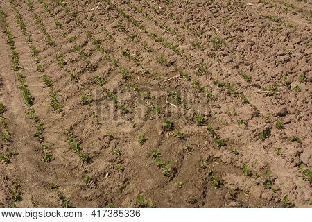 A Row Of Young Soybean Shoots Stretches Up. Rows Of Soy Plants On An Agricultural Plantation.young S