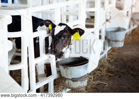 A Cute Black And White Calf In A Calf Barn At The Feeder, On A Dairy Farm. Calf Head Close-up. Milk
