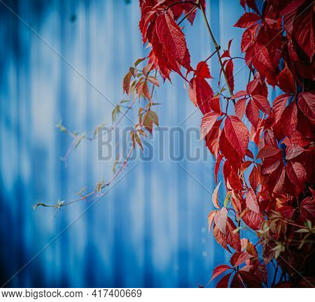 Square, Bright Red Decorative Ivy Against The Background Of A Luscious Blue Iron Garden Fence On A S