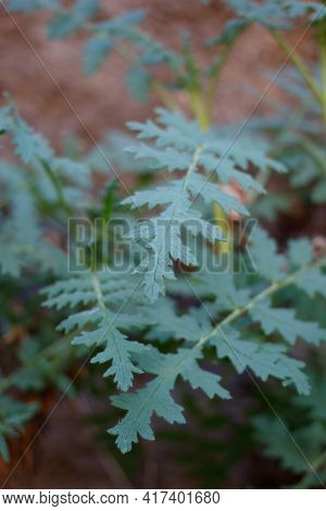 Compound Distally Acute Proximally Auriculate Lobate Leaves Of Branched Scorpionweed, Phacelia Ramos