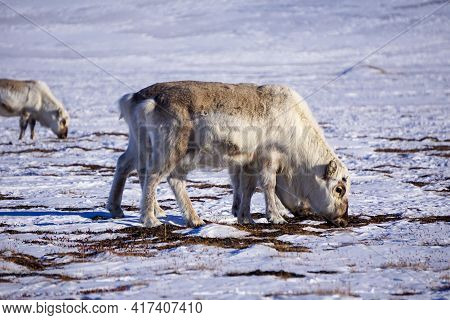 A Picture Of A Reindeer Eating Food