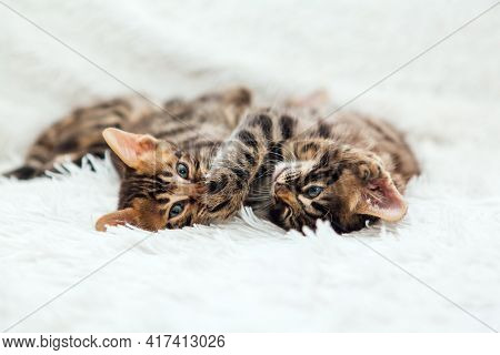 Two Cute Bengal Kittens Playing On A Furry White Blanket.