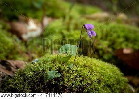 Common Blue Violet (viola Sororia) On A Mound Of Moss. Raleigh, North Carolina.