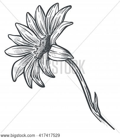 Camomile Or Marguerite Flower In Blossom Sketch
