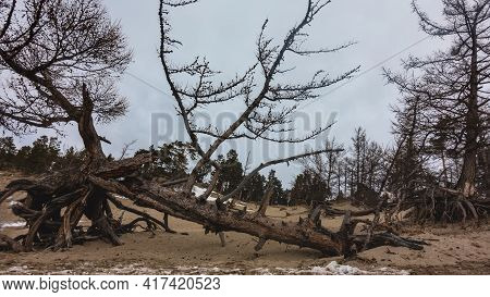 The Picturesque Trunk Of A Dry Tree Is Broken And Lies On Sandy Soil. Thick Twisted Roots Are Visibl