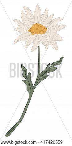 Chamomile Flower In Blossom, Herbal Flora Vector