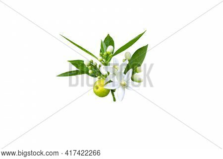 Branch Of Orange Tree With White Fragrant Flowers, Buds, Leaves And Fruit Isolated On White. Neroli