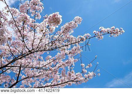 White Sakura Cherry Blossoms Branch In Spring Season In Japan, Sun Shine To Sakura Branches In Soft