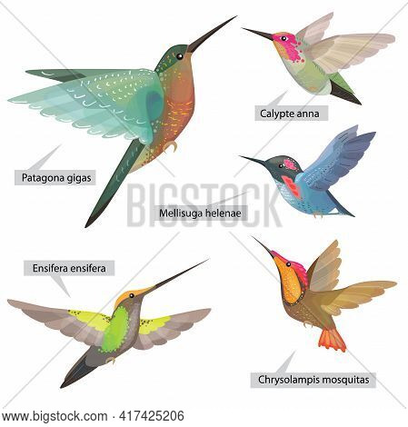 Set With Different Bright Decorative Hummingbirds From South And Central America. Real Latin Titles.
