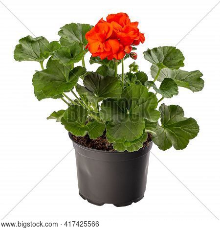 Beautiful Red Pelargonium In Flower Pot Isolated On White Background