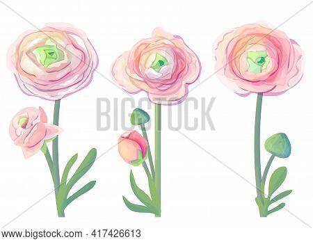 Different Detailed Pink Ranunculus On White Background. Elegant Flowers For Wedding. Illustration Ca