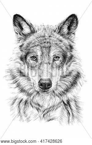 Hand Drawn Wolf, Sketch Graphics Monochrome Illustration On White Background (originals, No Tracing)