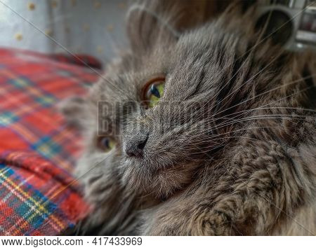 Portrait Of A Gray Cat Lying On A Red Checkered Pillow. The 14-year-old Female Animal Is Resting. Lo