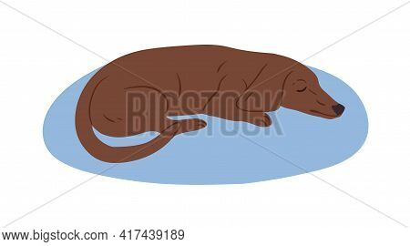 Cute Brown Dachshund Or Sausage Dog Sleeping On Rug. Cute Purebred Short-legged Doggy. Colored Flat
