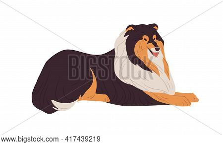 Hairy Collie Dog Resting. English Doggy Breed With Long Coat. Happy Friendly Purebred Doggie. Colore
