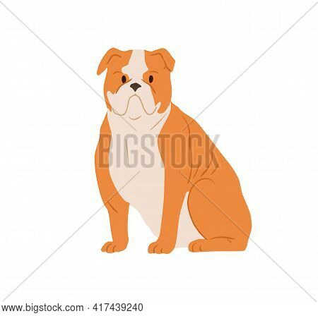 Portrait Of Angry English Bulldog With Wrinkled Face. Serious British Purebred Bull Dog With Short H