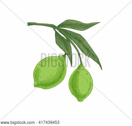 Leaves And Green Citrus Fruits Growing On Lime Tree Branch. Tropical Fragrant Food On Sprig. Realist
