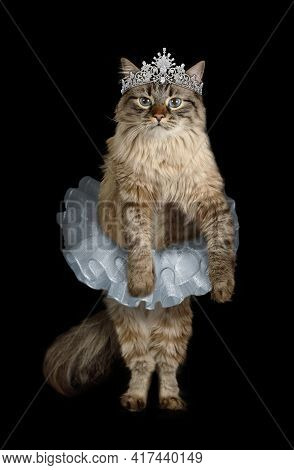Funny Siberian Cat Dressed In A Ballet Tutu With A Diadem On Its Head Standing Against Black Backgro