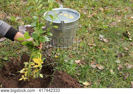 Gardener Supports Blueberry Seedling Before Watering. Planting And Caring For Plants In Autumn