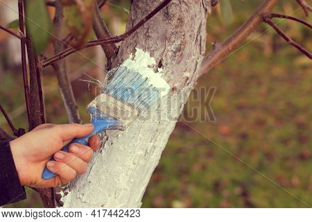 Gardener Is Whitewashing A Fruit Tree Trunk. Work To Protect The Garden In Autumn