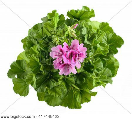 Geranium Plant With  Flowers  Isolated On White Background
