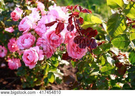 Garden Spray Pink Roses A Lot. Plantation Of Peony Garden English Roses. Gardening Metropolis Concep