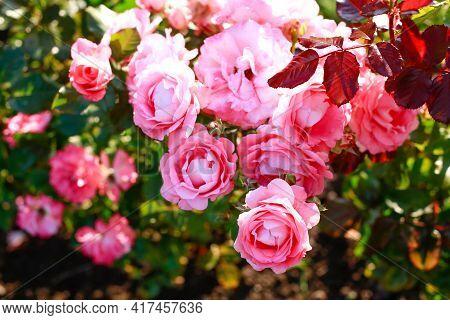 Garden Spray Pink Roses A Lot. Close Up Of Peony Garden English Roses. Pink Rose Bush.